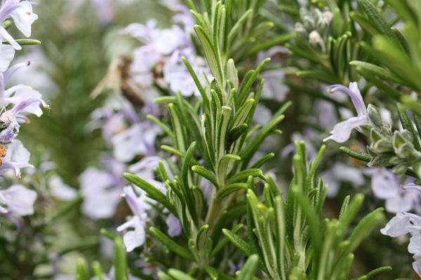 Romarin en fleurs