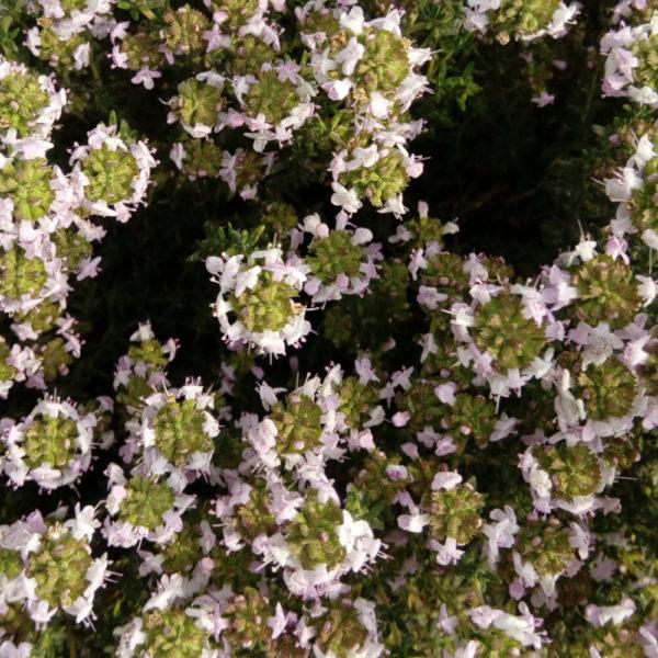 botte de fleurs de thym